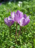 Açafrão de prado do autumnale do Colchicum Imagem de Stock