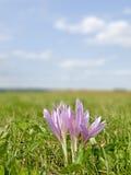 Açafrão de prado, planta medicinal Foto de Stock Royalty Free