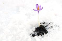 Açafrão de Snowdrops Imagem de Stock