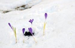 Açafrão de Snowdrops Imagens de Stock
