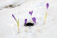 Açafrão de Snowdrops Fotos de Stock Royalty Free