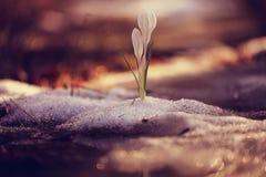 Açafrão de Snowdrops Fotografia de Stock Royalty Free
