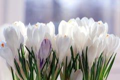 Açafrão de Snowdrops Imagens de Stock Royalty Free