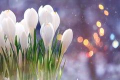 Açafrão de Snowdrops Foto de Stock Royalty Free