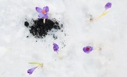 Açafrão de Snowdrops Fotos de Stock