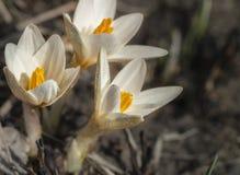 Açafrão de Snowdrops Primeiras flores da mola Imagens de Stock