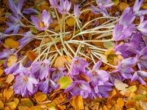 açafrão deflorescência dos açafrões sativus Foto de Stock