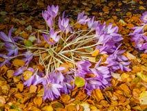 açafrão deflorescência dos açafrões sativus Imagem de Stock