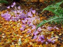açafrão deflorescência dos açafrões sativus Fotografia de Stock
