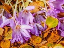 açafrão deflorescência dos açafrões sativus Imagens de Stock