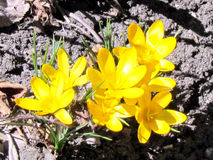 Açafrão 2013 do amarelo do lago toronto Foto de Stock Royalty Free