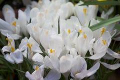 Açafrão do branco da flor Fotografia de Stock