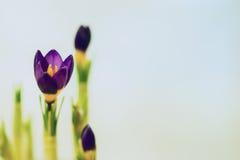 Açafrão do close up no fundo delicado Conceito da mola, jardinando, flores Lugar para seu texto Teste padrão romântico Imagem de Stock Royalty Free