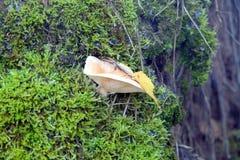 Açafrão do cogumelo que cresce no musgo Imagem de Stock Royalty Free