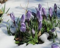 Açafrão do derretimento da neve Fotografia de Stock