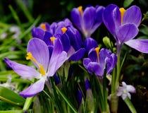 Açafrão do roxo da flor Imagens de Stock Royalty Free