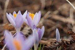 Açafrão do roxo da mola Açafrões de florescência no esclarecimento Imagens de Stock