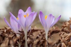 Açafrão do roxo da mola Açafrões de florescência no esclarecimento A planta no açafrão Fotografia de Stock Royalty Free