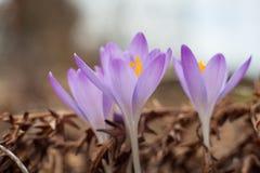 Açafrão do roxo da mola Açafrões de florescência no esclarecimento A planta no açafrão Imagens de Stock Royalty Free
