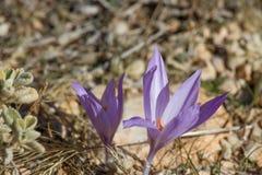 Açafrão do roxo da mola Flores das montanhas do outono dentro Fotografia de Stock Royalty Free