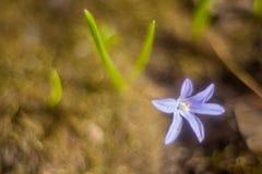 Açafrão do snowdrop da mola em um fundo das folhas verdes borradas Foto de Stock Royalty Free