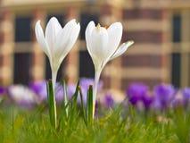 Açafrão dois branco de florescência Imagem de Stock
