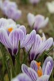 Açafrão dos açafrões, florescendo em circunstâncias naturais Close-up Macro Imagens de Stock Royalty Free