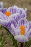 Açafrão dos açafrões, florescendo em circunstâncias naturais Close-up Macro Fotografia de Stock