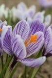 Açafrão dos açafrões, florescendo em circunstâncias naturais Close-up Macro Imagens de Stock