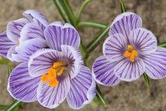 Açafrão dos açafrões, florescendo em circunstâncias naturais Close-up Macro Fotografia de Stock Royalty Free