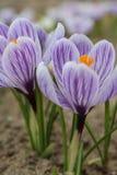 Açafrão dos açafrões, florescendo em circunstâncias naturais Close-up Macro Fotos de Stock