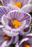 Açafrão dos açafrões, florescendo em circunstâncias naturais Close-up Macro Fotos de Stock Royalty Free