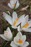 Açafrão dos açafrões, florescendo em circunstâncias naturais Close-up Macro Imagem de Stock