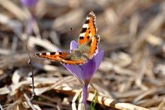 Açafrão e borboleta roxos da mola imagem de stock