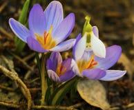 Açafrão e close up azuis das flores do snowdrop Foto de Stock Royalty Free