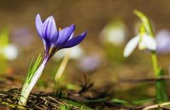 Açafrão e close up azuis das flores do snowdrop Foto de Stock
