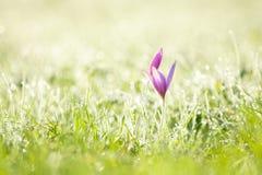 Açafrão e grama roxos do amanhecer Foto de Stock