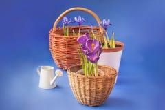 Açafrão e Iridodictyum nas cestas e na lata molhando Foto de Stock