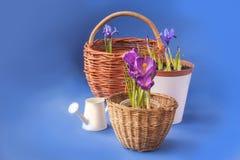 Açafrão e Iridodictyum nas cestas e na lata molhando Fotos de Stock Royalty Free