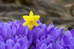 Açafrão e narciso - flores da mola Imagens de Stock