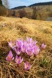 Açafrão em montanhas de Krkonose Fotografia de Stock Royalty Free