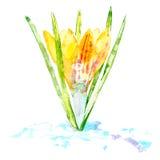 Açafrão em um fundo branco Cartão de uma flor da mola Fotografia de Stock