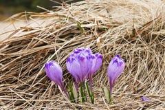 Açafrão em um prado na mola Foto de Stock