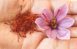 Açafrão em uma flor da mão e do açafrão Imagens de Stock Royalty Free