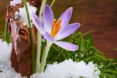 Açafrão em uma floresta com neve Foto de Stock