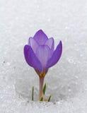 Açafrão em uma neve Foto de Stock
