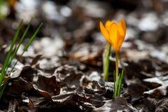 Açafrão emergente no jardim da mola Imagem de Stock