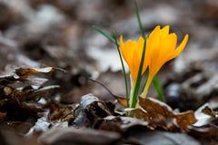 Açafrão emergente no jardim da mola Foto de Stock