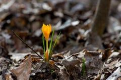 Açafrão emergente no jardim da mola Imagens de Stock