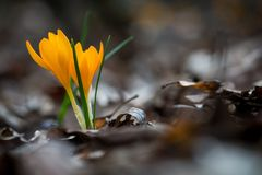 Açafrão emergente no jardim da mola Fotografia de Stock Royalty Free